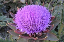 Close-up-flower-of-Artichoke