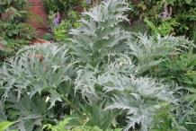 Leaves-of-Artichoke
