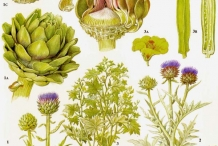 Plant-illustration-of-Artichoke