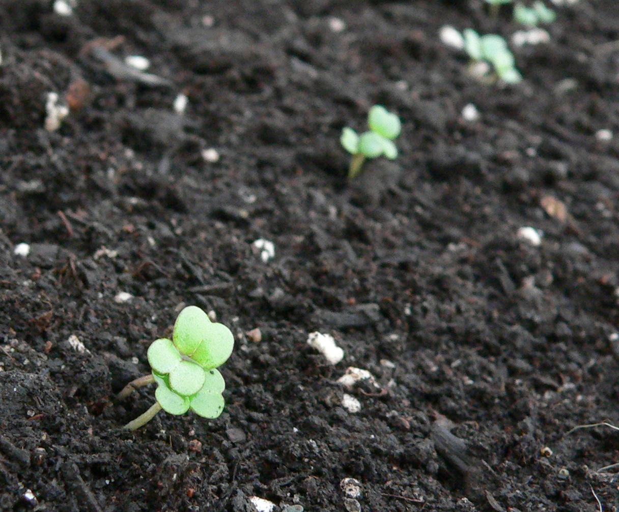 Arugula-seedlings