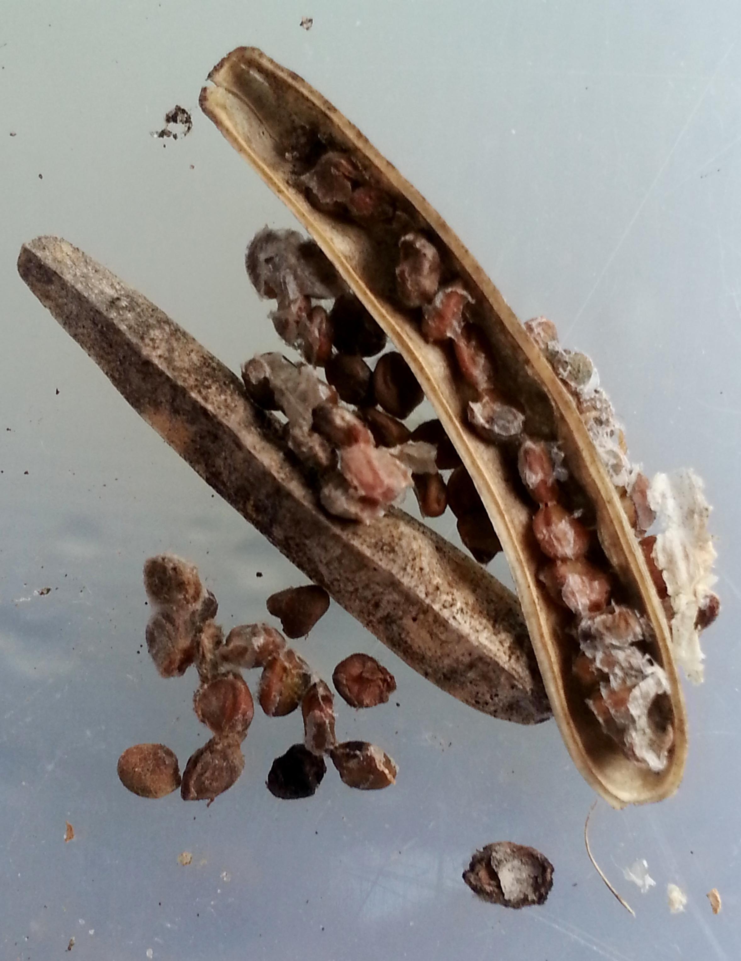 Arugula-seeds