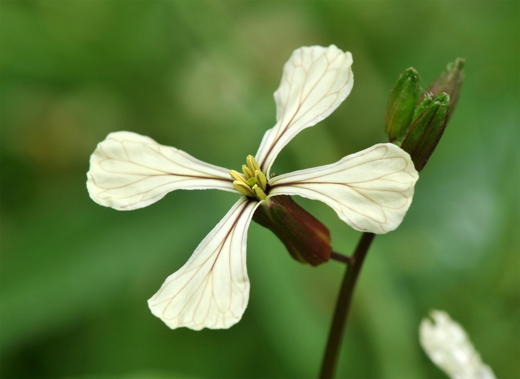 Close-up-flower-of-Arugula