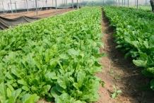 Arugula-farm