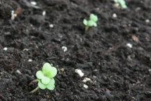 Arugula-seedlings