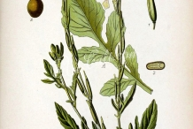 Plant-illustration-of-Arugula