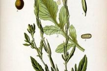 Plant-illustration-of-Arugula