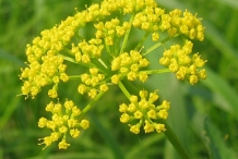 Asafoetida-flower