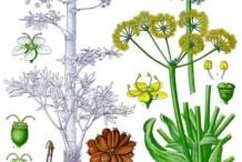 Asafoetida-plant-illustration