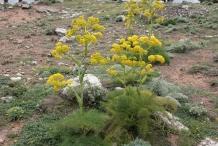 Asafoetida-plant
