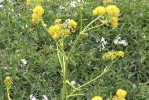 Asafoetida-stem-and-flower