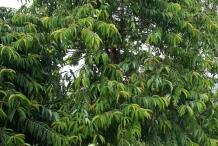 Asam-gelugur-tree