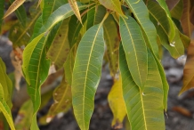 Asam-Kumbang-leaves