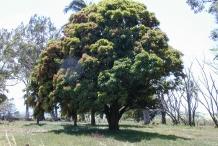 Asam-Kumbang-tree