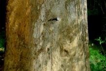 Asam-Kumbang-trunk