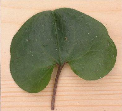 Asarabacca-Leaf