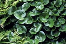 Asarabacca-bushes
