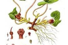 Asarabacca-plant-Illustrations