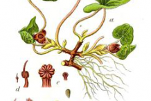 Asarabacca-plant-Illustrations