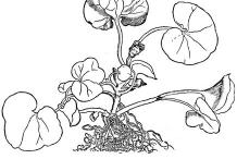 Asarabacca-plant-Sketch