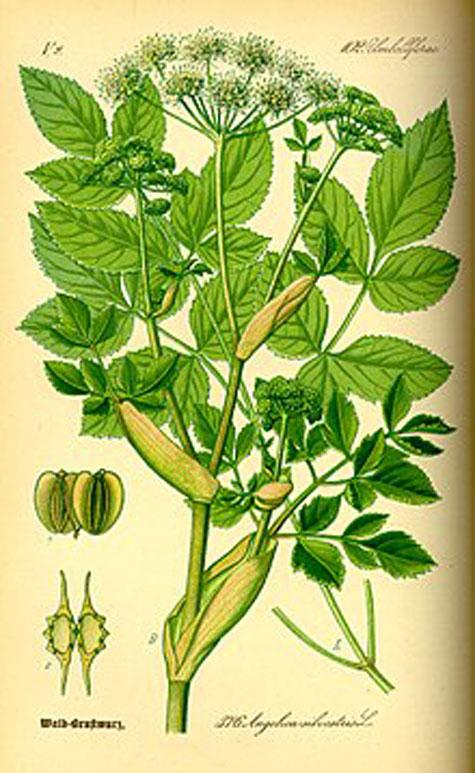 Plant-Illustration-of-Ashitaba