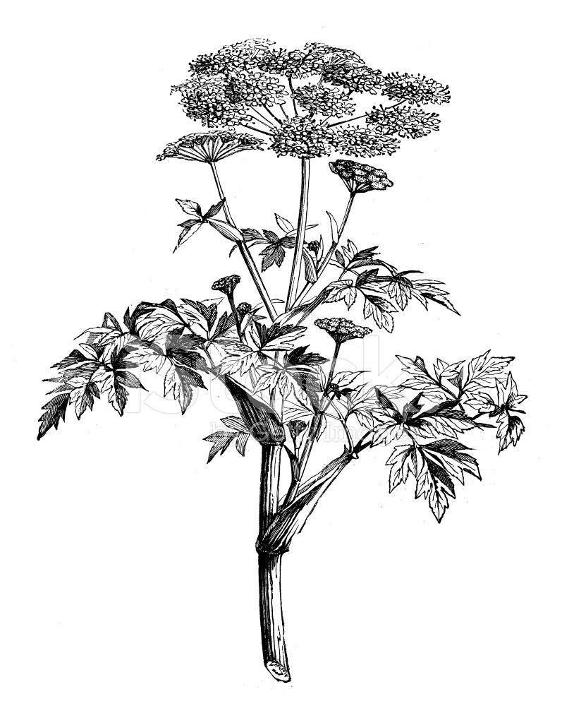 Sketch-of-Ashitaba