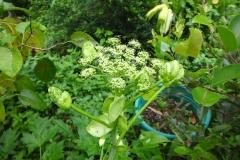 Flowers-of-Ashitaba
