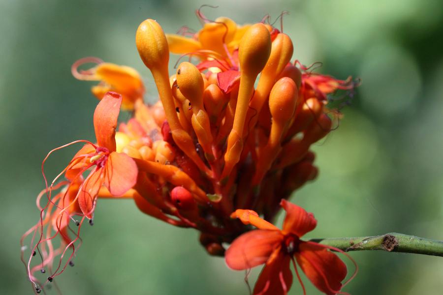 Flower-bud