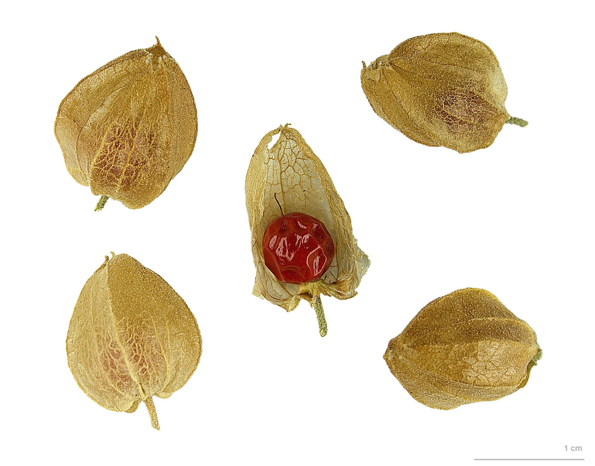 Ashwagandha-Fruit