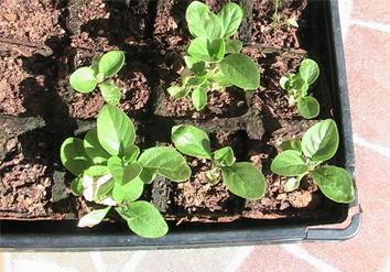 Recently-planted-Ashwagandha-plant