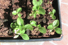 Recently-planted-Ashwagandha-plant