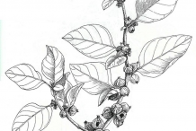 Ashwagandha-plant-Illustration