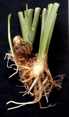 Asian-crocus-root
