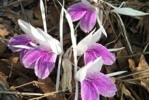 Asian-crocus-flower