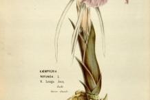 Plant-illustration-of-Asian-Crocus