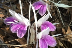 Asian-crocus-flower