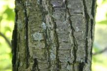 Asian-pear-bark