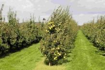Asian-pear-farm