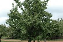 Asian-pear-tree