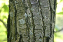 Asian-pear-bark