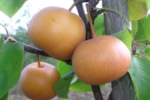 Asian-pear-brown
