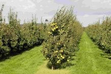 Asian-pear-farm