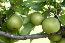 Asian-pear-green