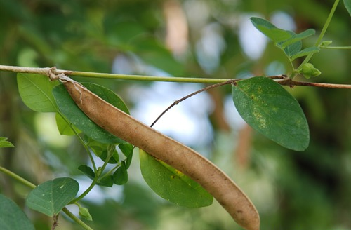 Seed-pod-of-Asian-pigeonwings