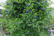 Asian-pigeonwings--plant