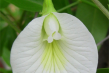 Other-variety-of-Clitoria
