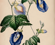 Plant-Illustration-of-Asian-pigeonwings