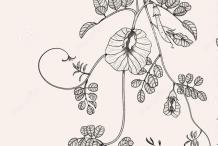 Sketch-of-Asian-pigeonwings-plant