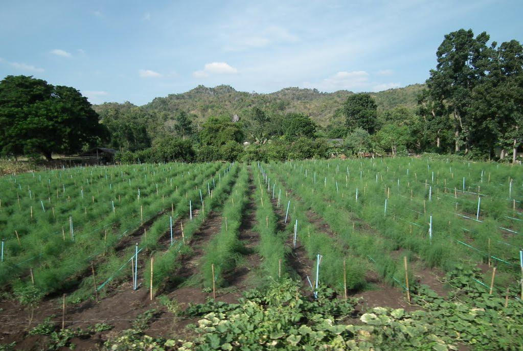 Asparagus-farm