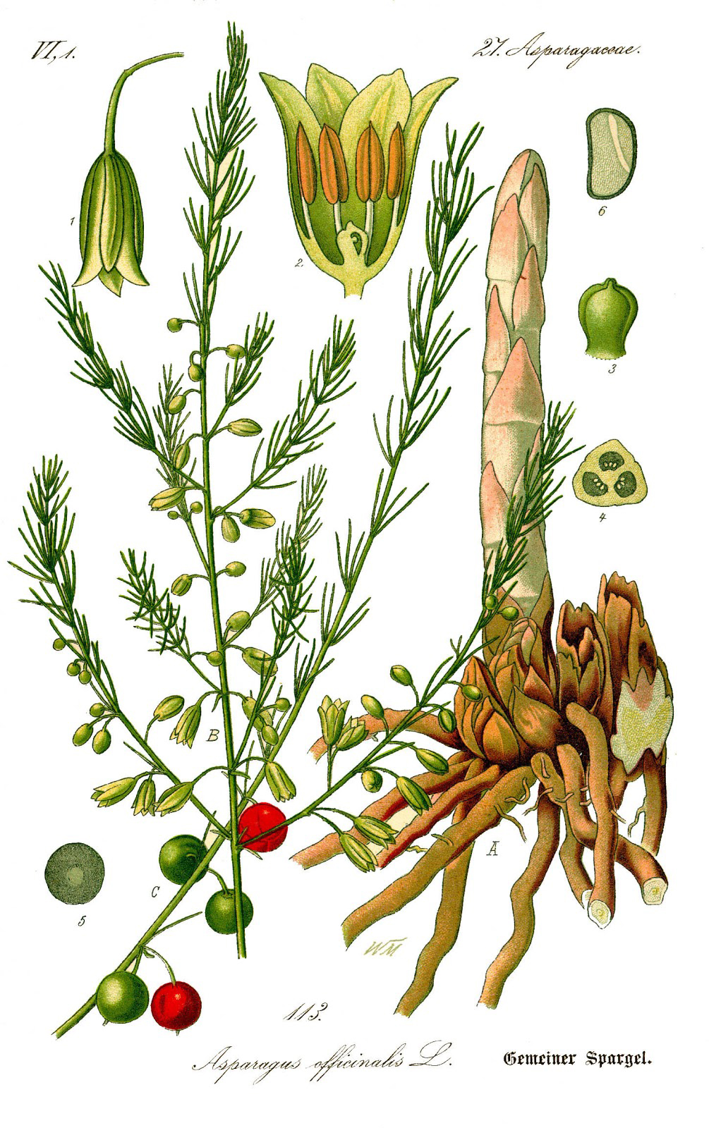 Plant-illustration-of-Asparagus