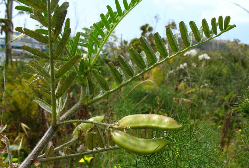 Astragalus-Fruit